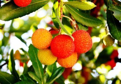 arbousier floraison automne